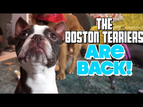 The Boston Terriers ARE BACK!