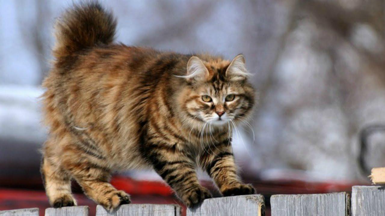 кот фото курильский бобтейл