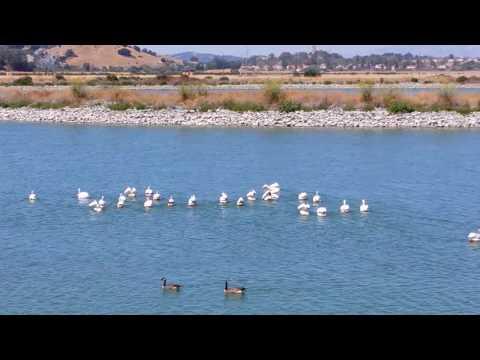 Pelicans Marin County