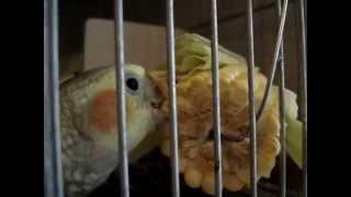Cockatiel - Criadouro Bunitos Calopsita comendo milho