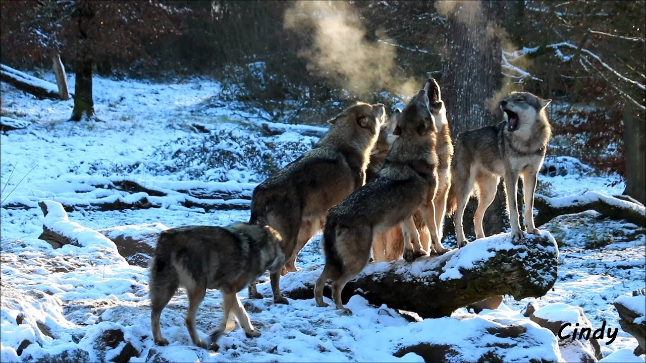 Hurlements d 39 une meute de loups gris youtube - Photo de loup gris a imprimer ...