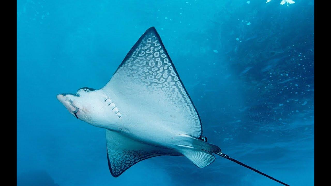 Acquario di genova il pesce razza adora le carezze for Pesce rosso razza