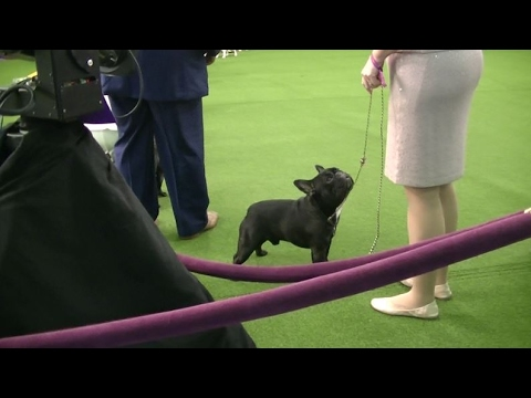 French bulldog Westminster dog show 2017 a