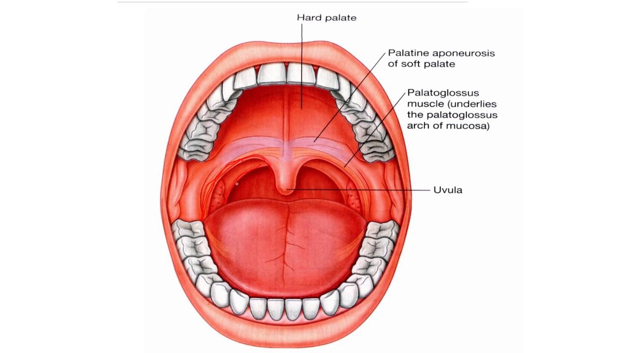 anatomy 2 u1 l12 mouth and soft palate [ 1280 x 720 Pixel ]