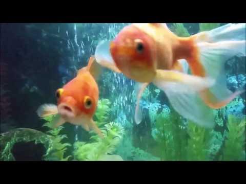 Huzur Verici Bir Video Benim Güzel Balıklarım (Japon Balıkları)