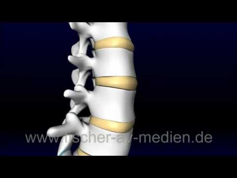 Die Wirbelsäule - kurz und bündig - Spinal Column - YouTube