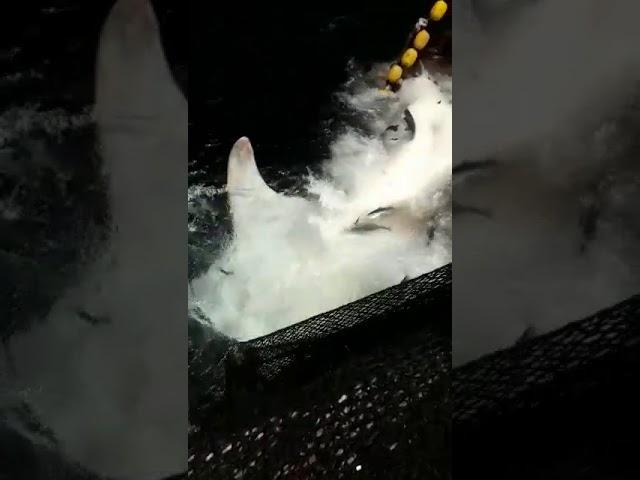 Ballenas jorobadas en peligro por redes de pesca