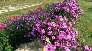 100. Из одного вазона осенних цветов - живая изгородь.