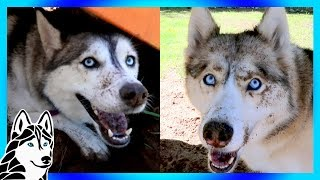 WHAT DID YOU DO !  HUSKY DIGGING PARTY