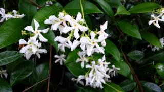 Jasminum polyanthum - Iasomie inflorita Vara HD 02