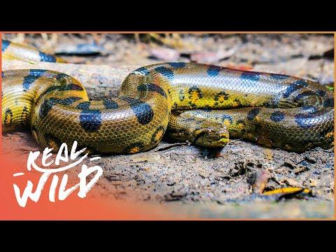 Inside Venezuela's Breathtaking Animal Kingdom | The Real Lost World | Real Wild