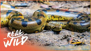 Inside Venezuela's Breathtaking Animal Kingdom   The Real Lost World   Real Wild