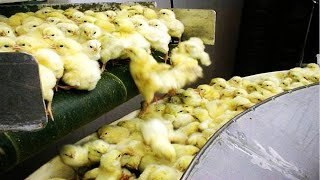 How Poultry Farm Make Million Eggs and Meat - Inside Modern Chickens Farm - Poultry Farm Technology