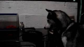 Siberian Husky In The Philippines