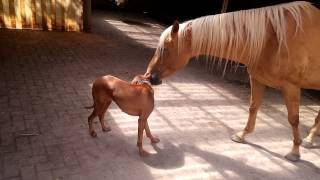 Vizsla Gets Cuddled By A Horse