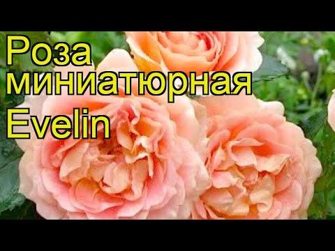 Роза миниатюрная Эвелин. Краткий обзор, описание характеристик, где купить саженцы Evelin