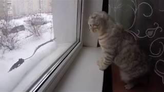 С Кошкой Играем в Снежки 😻 Шотландская Вислоухая Кошка Хлоя сидит возле окна 🐱 Scottish Fold Cat