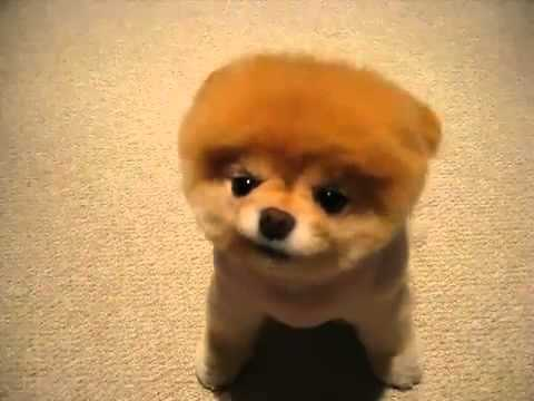 clip c n y u boo the world 39 s cutest dog youtube. Black Bedroom Furniture Sets. Home Design Ideas
