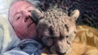 Night 1: Sleeping Inside A Cheetah Enclosure With Two Adult Big Cats - Cat Purrs Self To Sleep