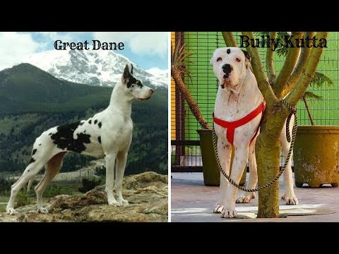 Few Facts About Great Dane and Bully Kutta