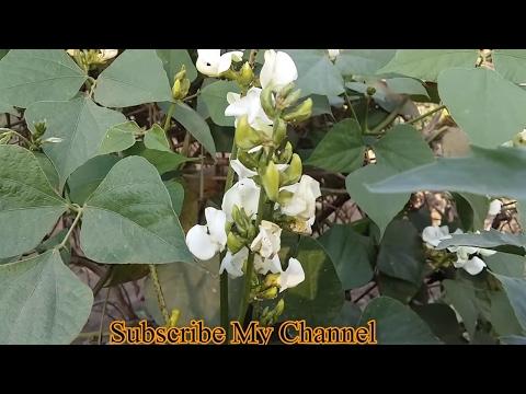 204_Organic vegetable  || सेम को कीड़ो से कैसे बचाये ?॥ जैविक खेती