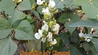 177# Organic vegetable  || सेम को कीड़ो से कैसे बचाये ?॥ जैविक खेती
