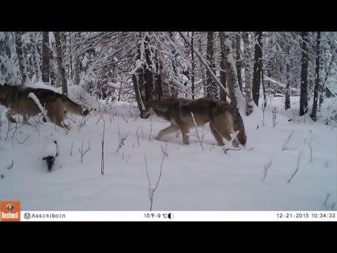 Fort Assiniboine, Alberta - Trail Cam #1