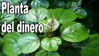 Planta del dinero Plectranthus Verticillatus