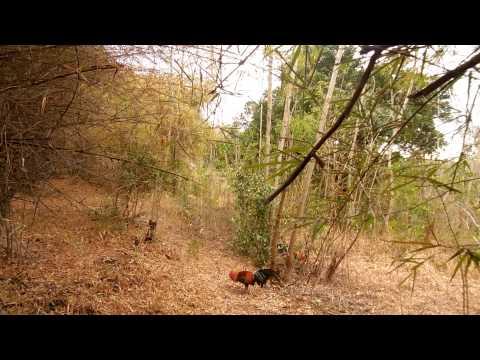 ต่อไก่ป่า (ซ้าง)