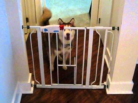 Husky Sneaking Past Pet Gate Through Cat Door   YouTube
