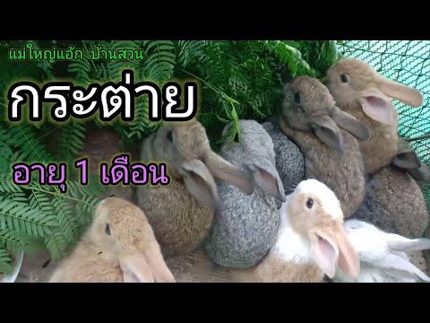 การเลี้ยงกระต่าย กระต่ายอายุ 1 เดือน