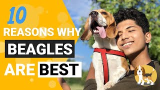 10 Qualities of Beagles that will make you Want one