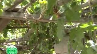 زراعة العنب بولاية ال�...