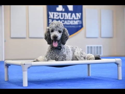 Woozle (Standard Poodle) Boot Camp Dog Training Video Demonstration