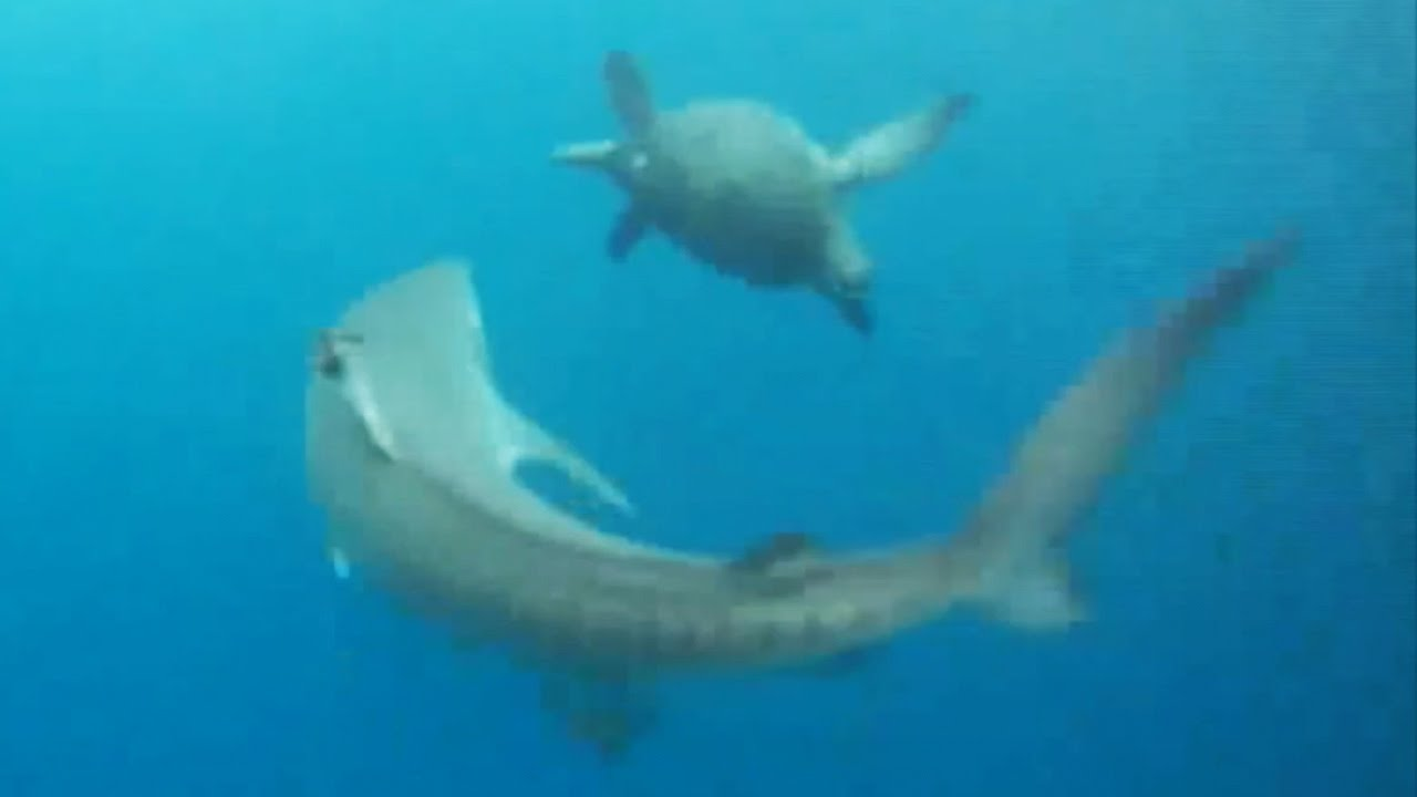 Turtle defending itself from a tiger shark attack by ... |Tiger Sharks Attack Turtle