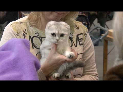 International Cat Exhibition held in St. Petersburg