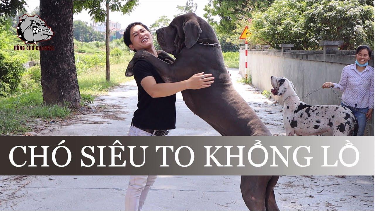 """[DOG REVIEW] Giống chó siêu to khổng lồ-Chó Great Dane """"Scooby Doo"""" / Hùng Chó Channel"""