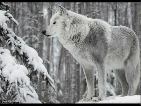 The Latin Wolf Face Turn Music