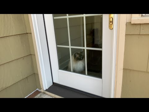 Ragdoll Cats Charlie and Trigg Outside - Vlogging Day 3
