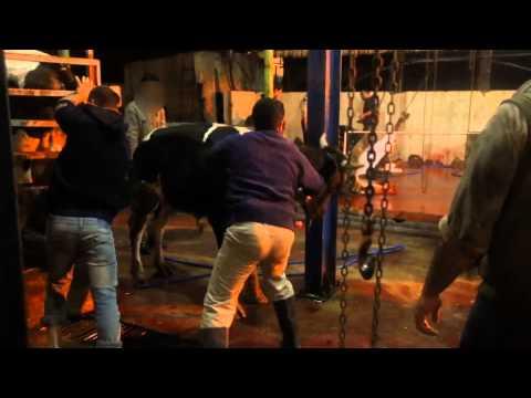 Exportation d'animaux vivants à Gaza - Non censurée