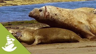 The heavy, forced mating of the Elephant Seals