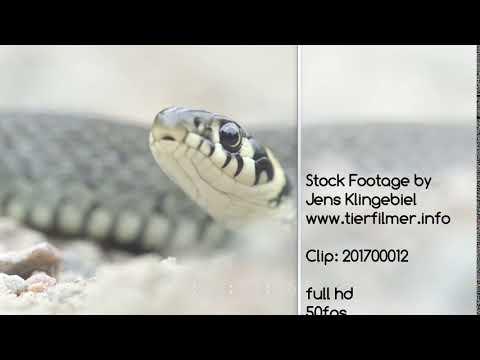 Grass snake, Ringelnatter full hd, wildlife stock footage, 2017 201700012