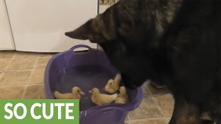 Dog watches over ducklings' first swim