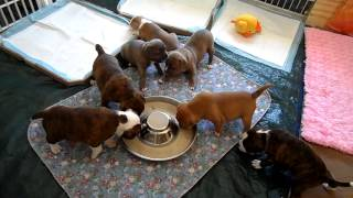 Shaq & Deuce Pup Videos @ 28 Days Staffordshire Bull Terrier Puppies