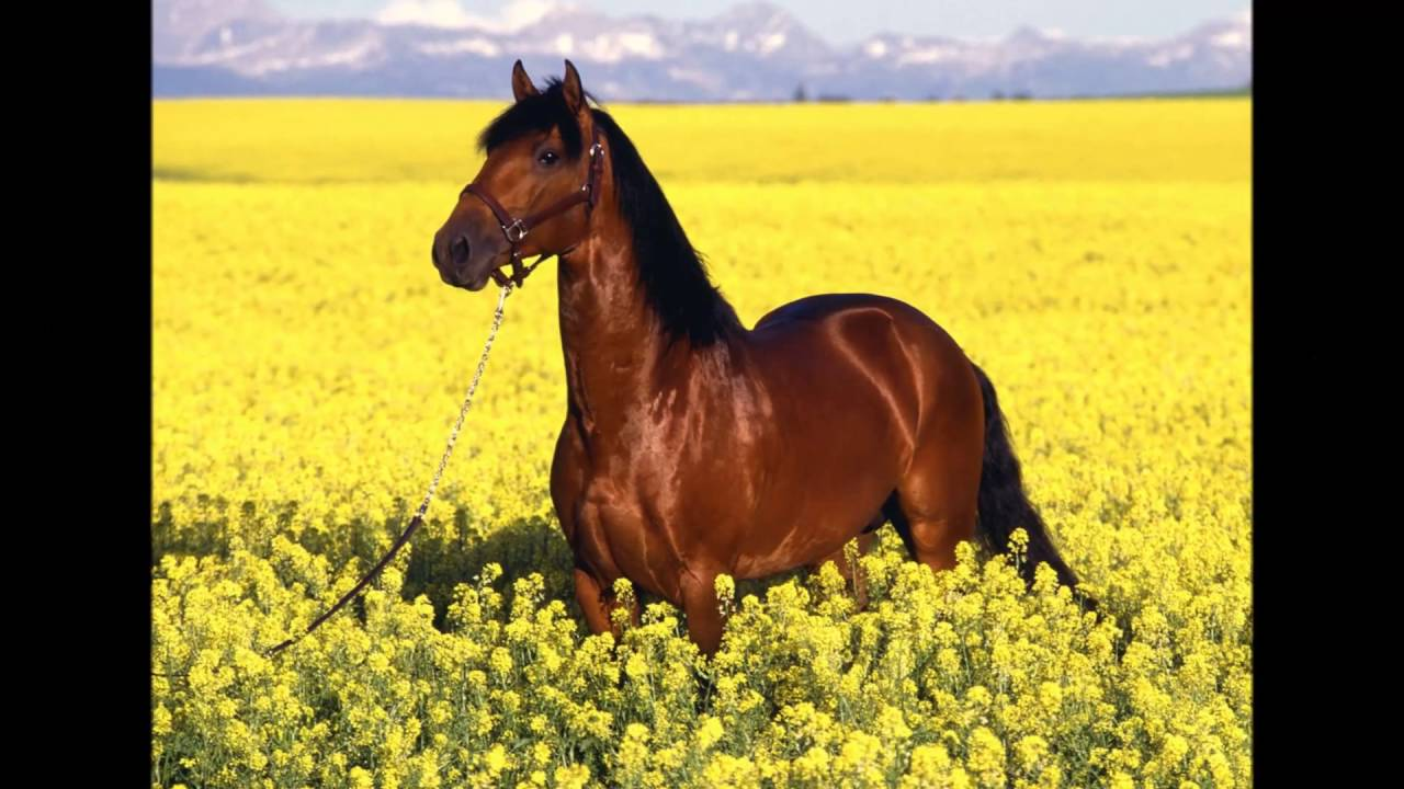 افلام خيول عربية اصيلة