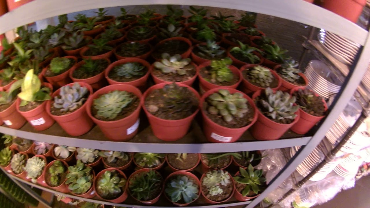 Cara Merawat Sukulen Kaktus Mini Nan Indah