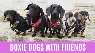 Funny Dachshund playing with Dogs videos compilation 2021 ,Doxie dogs playful time with friends 2021