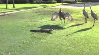 Sandhill Cranes attack Gator