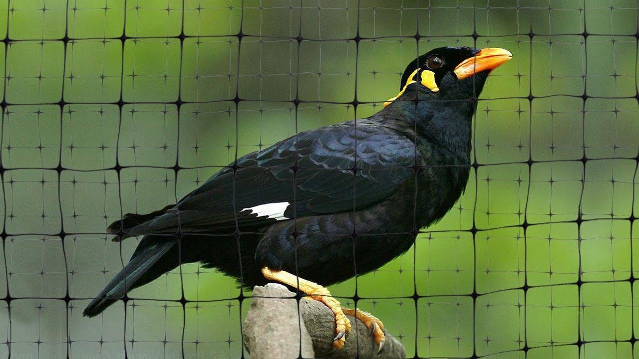 VAIVA TAWNGTHEI (Mynah Bird in Mizoram, India)