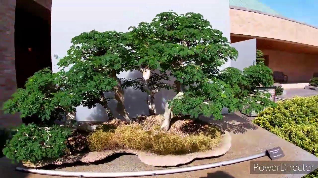 Chicago S Botanical Garden Bonsai Section Youtube